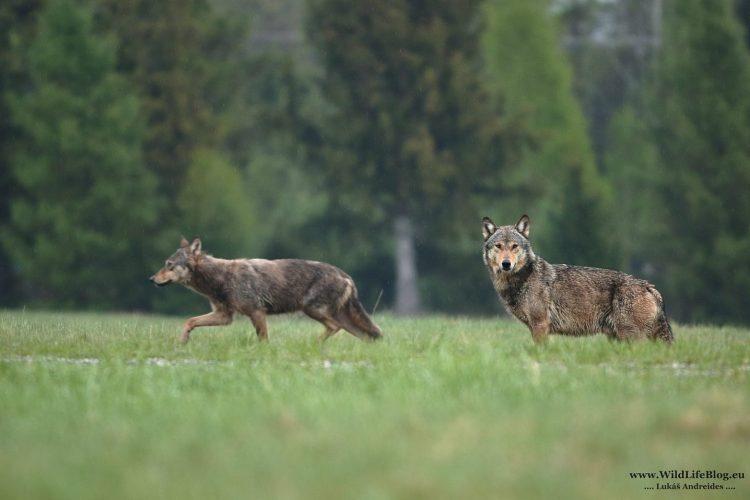 Vlk dravý (Foto: Lukáš Andreides/wildlifeblog.eu)
