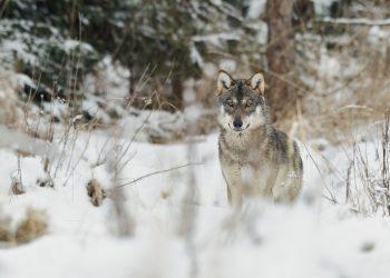 Vlk dravý (Canis lupus, foto: wildlifeblog.eu)