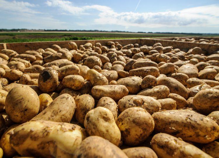 Zber a triedenie skorých zemiakov v obci Malý Cetín pri Nitre. Zemiaky (lat. Solanum tuberosum) patria medzi najvýznamnejšie poľnohospodárske plodiny  na celom svete s výnimkou trópov, arktických a subarktických oblastí. Malý Cetín, 8. júl 2020 (Foto: SITA/Martin Havran)